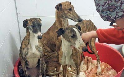 Jeden Tag werden neue Galgos im Tierheim aufgenommen