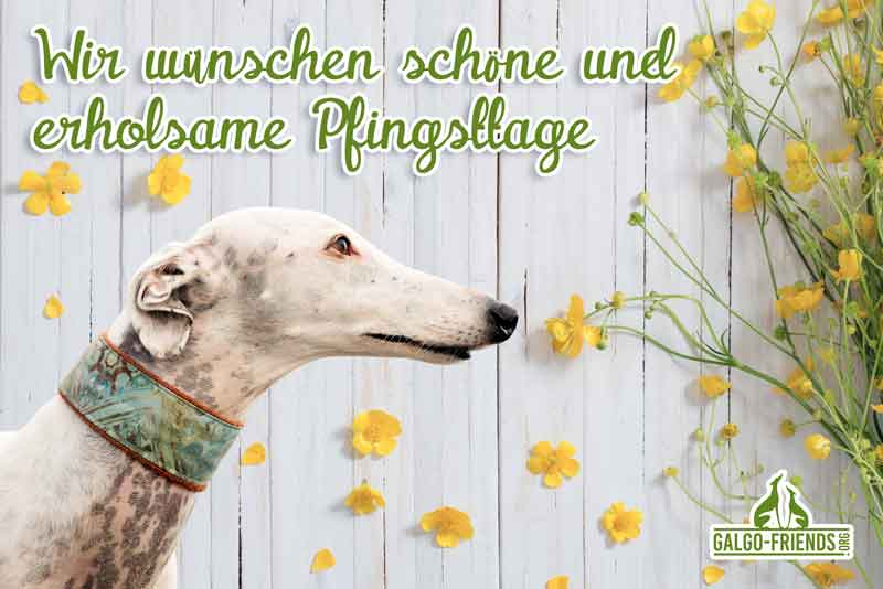 Galgo-Friends_Pfingsten