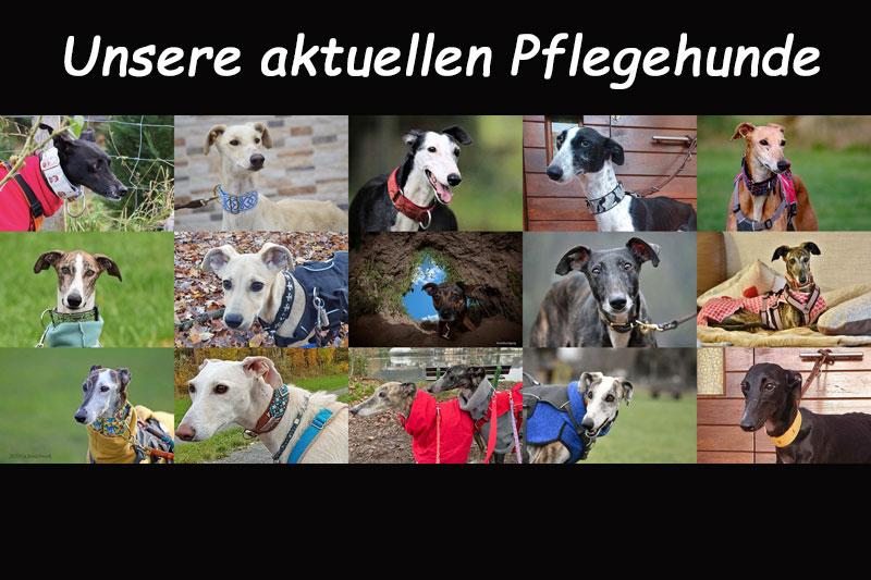 Pflegehunde
